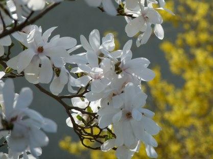 Magnolienblüten in Weiß (c) Frank Koebsch