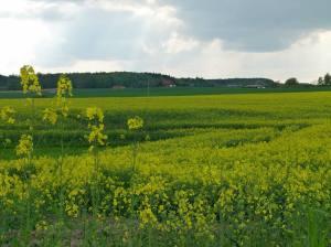 Rapsblüte im Mecklenburg Vorpommern (c) Frank Koebsch (1)