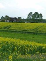 Rapsblüte im Mecklenburg Vorpommern (c) Frank Koebsch (3)