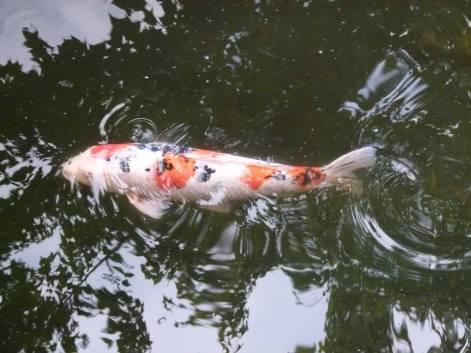 Vancouver - Kois im Chinesischen Garten (c) Frank Koebsch (8)