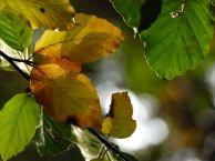 Bunte Blätter im Herbst (c) FRank Koebsch