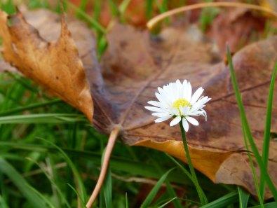 Gänseblümchen im Herbst (c) FRank Koebsch (2)