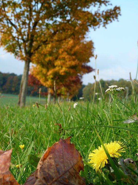 gelber Tupfer des Löenzahns vor den farbigen Bäumen (c) Frank Koebsch