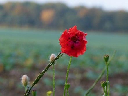 Mohn im Herbst (c) Frank Koebsch