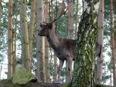 Damwild im im Natur und Umweltpark Güstrow (c) Frank Koebsch (1)