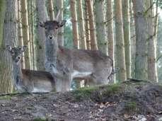 Damwild im im Natur und Umweltpark Güstrow (c) Frank Koebsch (2)
