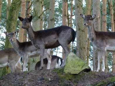 Damwild im im Natur und Umweltpark Güstrow (c) Frank Koebsch (3)