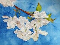 Kirschblüten (c) Aquarell von Frank Koebsch