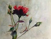 Regentag (c) ein Rosenaquarell von Hanka Koebsch