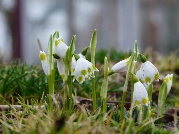 Schneeglöcken - ein wunderbares Motiv für Frühlungsbilder (c) Frank Koebsch (1)