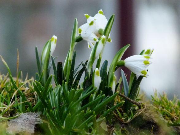 Schneeglöcken - ein wunderbares Motiv für Frühlungsbilder (c) Frank Koebsch (2)