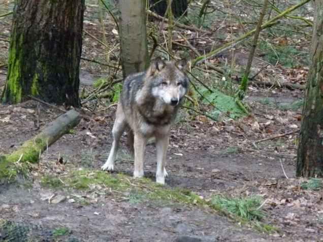 Wölfe im Natur und Umweltpark Güstrow (c) Frank Koebsch (1)