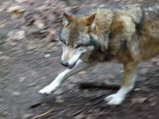 Wölfe im Natur und Umweltpark Güstrow (c) Frank Koebsch (2)