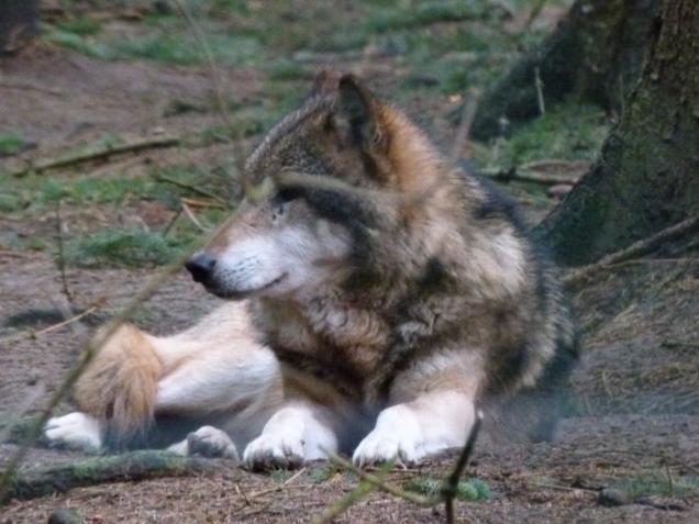 Wölfe im Natur und Umweltpark Güstrow (c) Frank Koebsch (5)