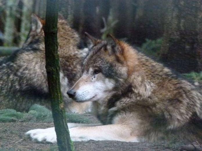 Wölfe im Natur und Umweltpark Güstrow (c) Frank Koebsch (6)