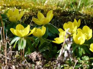 Winterlinge - - ein wunderbares Motiv für Frühlungsbilder (c) Frank Koebsch (1)