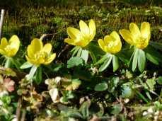 Winterlinge - - ein wunderbares Motiv für Frühlungsbilder (c) Frank Koebsch (2)