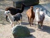 Alpaka im Schweriner Zoo (c) FRank Koebsch
