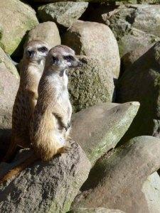 Erdmänchen im Schweriner Zoo (c) Frank Koebsch (2)