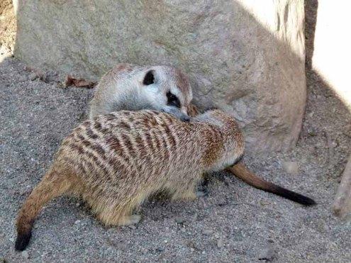 Erdmänchen im Schweriner Zoo (c) Frank Koebsch (3)
