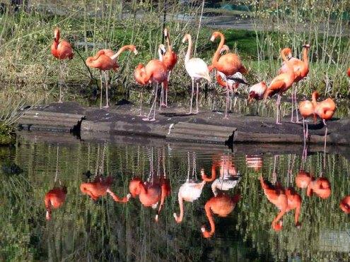 Flamingos im Schweriner Zoo (c) FRank Koebsch (1)