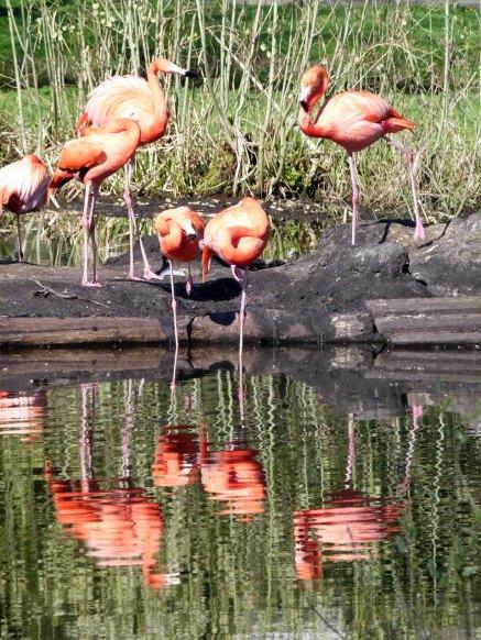Flamingos im Schweriner Zoo (c) FRank Koebsch (2)
