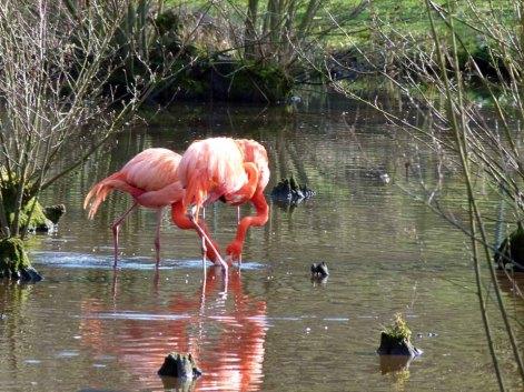Flamingos im Schweriner Zoo (c) FRank Koebsch (3)