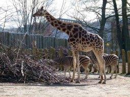Giraffe und Zebras im Schweriner Zoo (c) Frank Koebsch