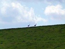 Kraniche auf den Wiesen an der Regnitz (c) Frank Koebsch