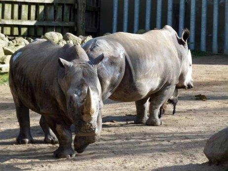 Nashörner im Schweriner Zoo (c) Frank Koebsch