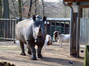 Nashorn im Schweriner Zoo (c) Frank Koebsch