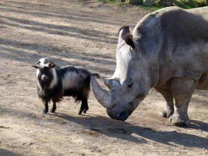 Nashorn und Ziege im Schweriner Zoo (c) Frank Koebsch
