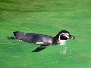 Pinguine im Schweriner Zoo (c) FRank Koebsch (4)