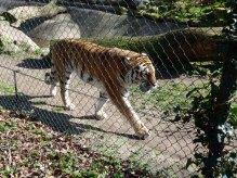 Tiger im Schweriner Zoo (c) Frank Koebsch