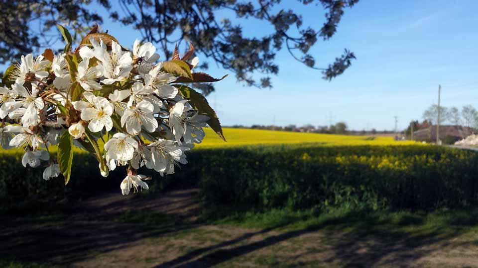 Weiß - Gelb - Kirsch und Rapsblüten (c) Frank Koebsch