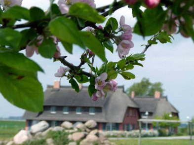 Apfelblüten auf dem Ferienhof Rügen (c) FRank Koebsch (1)