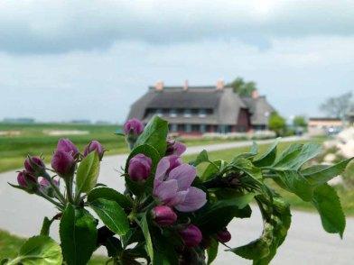 Apfelblüten auf dem Ferienhof Rügen (c) FRank Koebsch (2)