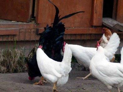 Glückliche Hühner auf der Ferienhof Rügen (c) Frank Koebsch