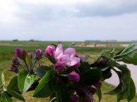 Obstblüte auf Rügen (c) FRank Koebsch