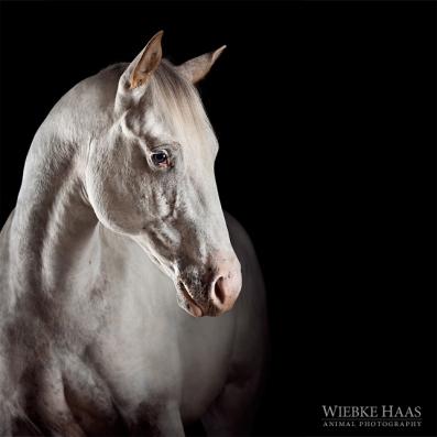 Gentle Yuma - Yuma, Appaloosahengst aus der Serie Equine Art (c) Wiekbe Haas