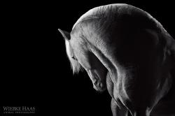 Porcelain - Creme de la Creme, Ungarischer Warmbluthengst aus der Serie Equine Art (c) Wiebke Haas