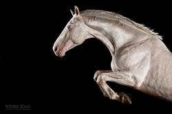 Strength - Sasso, Haflingerhengst aus der Serie Equine Art (c) Wiebke Haas