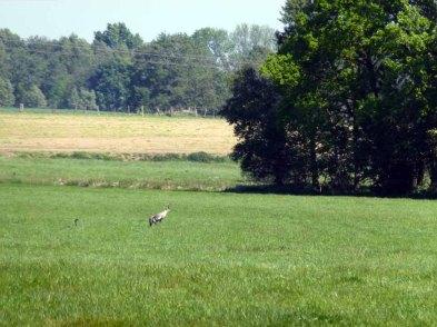 Versteckt im Gras - Kranichbeobachtungen im Juni (c) Frank Koebsch