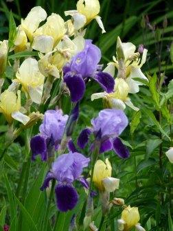 wunderbare Lilien im Garten des Pfarrwitwenhauses von Groß Zicker (c) Frank Koebsch (1)