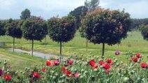 Klatschmohn im Rosenpark Groß Siemen (c) Frank Koebsch (2)