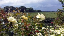 Rosen im Park von Groß Siemen als Motiv für unsere Aquarelle (c) Frank Koebsch (1)