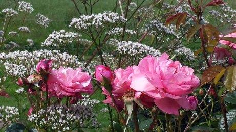 Rosen im Park von Groß Siemen als Motiv für unsere Aquarelle (c) Frank Koebsch (2)