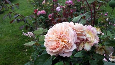 Rosen im Park von Groß Siemen als Motiv für unsere Aquarelle (c) Frank Koebsch (3)