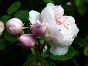 Rosen im Park von Groß Siemen als Motiv für unsere Aquarelle (c) Frank Koebsch (7)