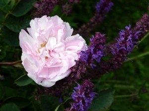 Rosen und Lavendel ein wunderbares Motiv (c) Frank Koebsch